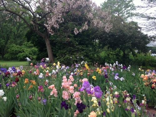 Iris Garden at MoBot